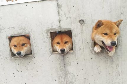 В Японии щенки шиба-ину стали популярной достопримечательностью