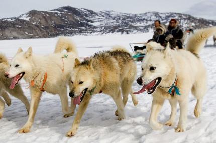 В Дании собачья упряжка стала официальным видом транспорта