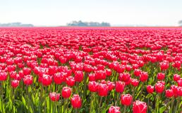 Голландские цветоводы просят не вытаптывать их поля ради селфи