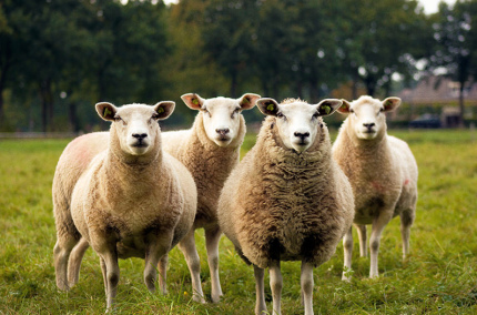 Аэропорт Брюсселя привлёк овец для ухода за газоном