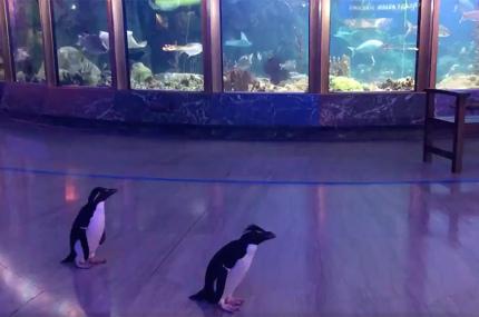 Океанариум в Чикаго выпустил пингвинов погулять по залам для посетителей