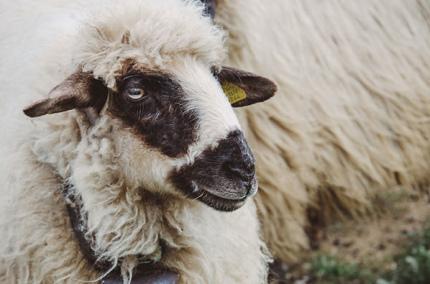 Туристы в Грузии смогут попробовать себя в роли пастухов